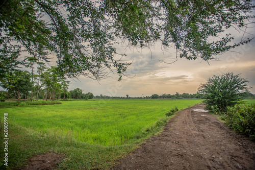 Fotobehang Beige Rice field green grass blue sky cloud cloudy landscape background