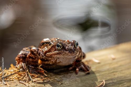 Fotobehang Kikker The common frog (Rana temporaria)