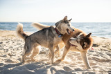 Huskies playing on the sea shore in the summer