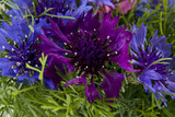 Selection  Blue Flowers Centaurea on top of each other forming  as background
