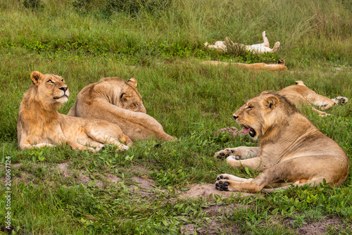Canvas Lion Mighty Lion watching the lionesses who are ready for the hunt in Masai Mara, Kenya (Panthera leo)