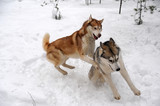 two husky redheads and gray play in the snow
