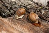 Two Burgundy snails (Helix, Roman snail, edible snail, escargot) crawling on the trunk of old aspen tree. . - 208069108