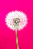 Одуванчик с семенами с пушистыми волосками, на розовом фоне - 208071504