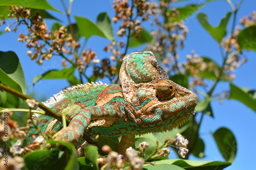 Fototapeta Green chameleon camouflaged by taking colors of its nature