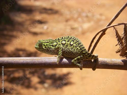 Fotobehang Kameleon chameleon on a branch, Madagascar