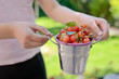 Ripe sweet cherry in small bucket