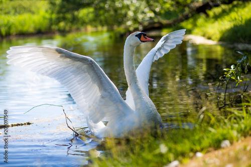 Aluminium Zwaan White Swan near lake