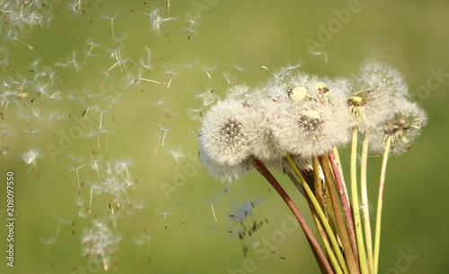 Canvas Paardenbloemen blow off dandelions on green background