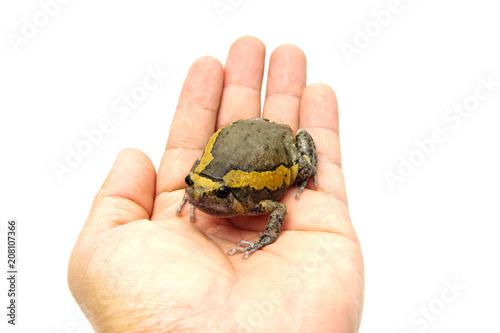 Fotobehang Kikker bullfrog on hand.