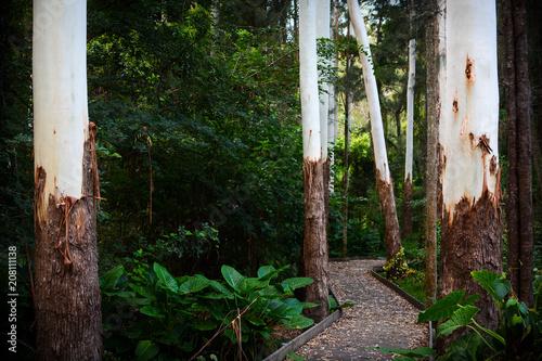 Aluminium Weg in bos Peaceful pathway through a lush green Australian forest with tall white eucalyptus trees