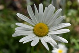 beautiful white chamomile flower close-up on soft blurred green leaf and grass background