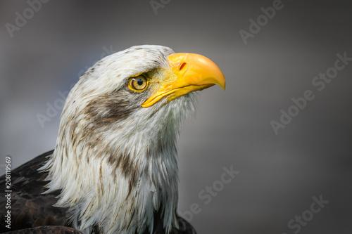 Plexiglas Eagle Weißkopfseeadler Portrait