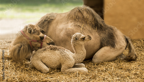 Fotobehang Kameel Young camel with mother in the stable (Camelidae)