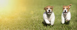 Web banner of happy Jack Russell Terrier dog puppies as playing