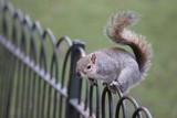 a beautiful squirrel resting on fence, Green Park, London, England, U.K - 208124519