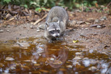 Raccoon in the natural environment near the reservoir with water. - 208127326