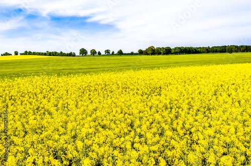 Fotobehang Geel Rapeseed fields with flowers, yellow field of rape, landscape
