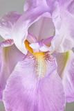 Pink Colored Iris Flower. Large Depth of Field (DOF).