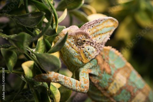 Fototapeta Chamaeleo calyptratus with light green, yellow and brown skin