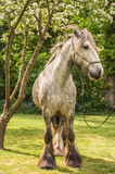 Shire Horse 1