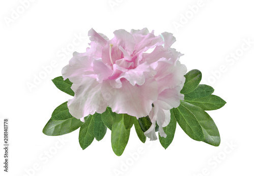 Aluminium Azalea Delicate light pink Azalea flowers (Rhododendron) with leaves close up, isolated on white