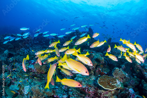 School of colorful Snapper on a tropical coral reel
