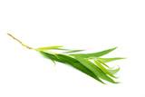 trauerweidenblatt trauerweidenblatt blatt weidenblatt isoliert freigestellt auf weißen Hintergrund, Freisteller
