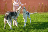 Girl playing with two dogs of breed Russian Borzoi. Copy space.