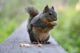 Squirrel in Stanley Park - 208146516