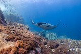 Multiple huge Oceanic Manta Rays swimming over a tropical coral reef - 208149123