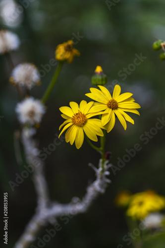 Foto Murales Broomstick Tree flowers
