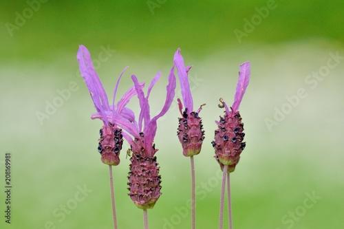 Aluminium Lavendel Floraison du printemps
