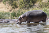 hippopotamus that enters the water of the Nile River from the shore covered with grass and bushes - 208181794