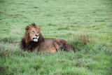 Mighty Lion watching the lionesses who are ready for the hunt in Masai Mara, Kenya (Panthera leo) - 208185536