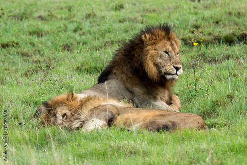 Fotobehang Lion Mighty Lion watching the lionesses who are ready for the hunt in Masai Mara, Kenya (Panthera leo)