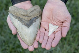 6 Inch Giant Prehistoric Megalodon Shark Tooth and 2 Inch Great White Shark Tooth