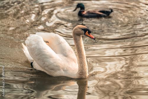 Aluminium Zwaan White swans in the lake