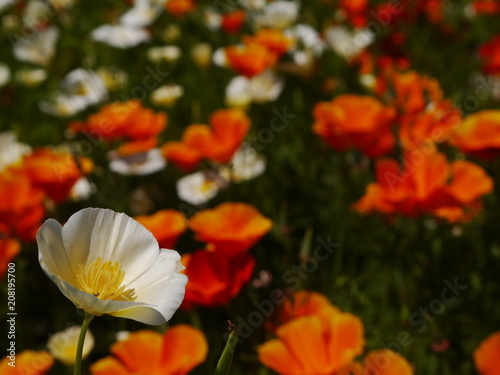 Aluminium Klaprozen poppy field