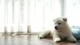 Close up of siberian husky puppy on pet bed under sunlight slow motion  - 208204513