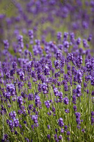 Fotobehang Lavendel 大分県 くじゅう花公園のラベンダー