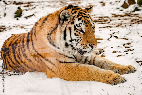 Aluminium Tijger Tiger in the snow