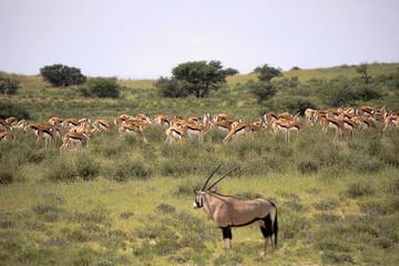 Big group Springbok, Antidorcas marsupialis, pasture, Kalahari South Africa