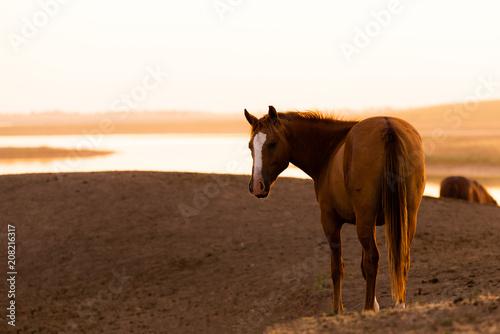 Fotobehang Paarden Wild horse in wildlife on golden sunset
