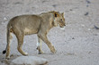 Young male lion in the Kgalagadi Transfrontier Park in South Africa