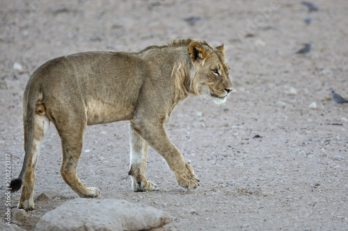 Canvas Lion Young male lion in the Kgalagadi Transfrontier Park in South Africa