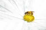 Bee collecting pollen from a white flower in the meadow. Macro and empty copy space for Editor's text. - 208225956