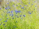 Natural summer background with blooming blue Centaurea cyanus (Cornflower or Bachelor's button). Russia.