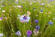 Leinwanddruck Bild - fiori selvatici colorati fiordalisi viola sfondo