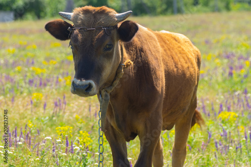 Portrait of cute bull-calf chained on summer flowering meadow